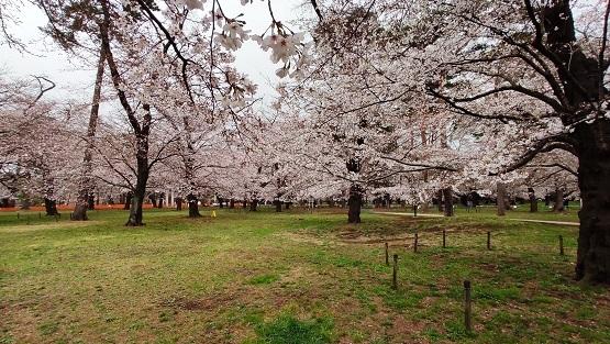 大宮公園の桜20210322