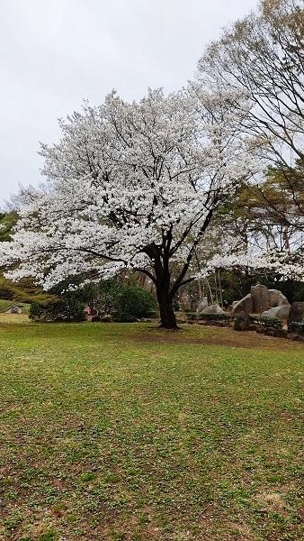 大宮公園の大島桜20210322