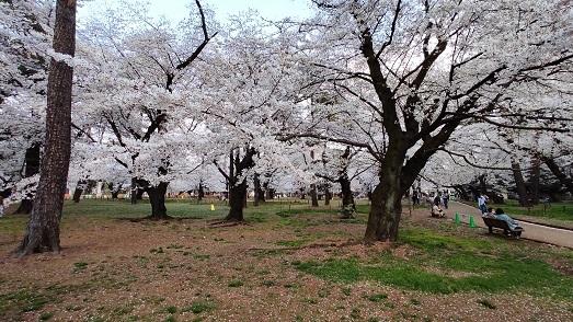 大宮公園の桜20210326