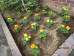マリーゴールド・野菜の苗植え