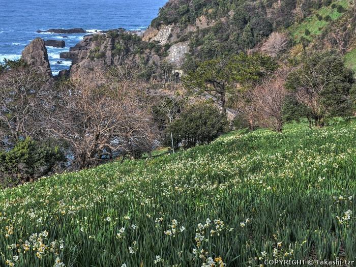 越前海岸の水仙畑 上岬の文化的景観1