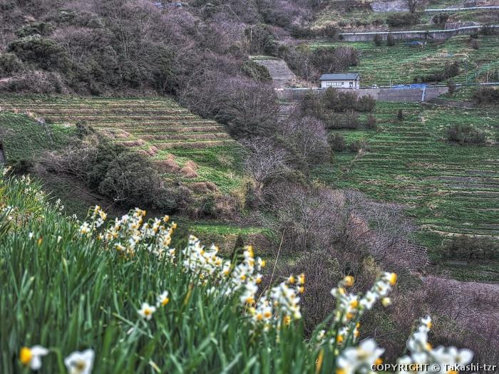 越前海岸の水仙畑 上岬の文化的景観2