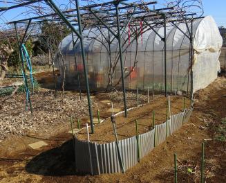 ヤマイモ栽培ための土盛り(播種後)