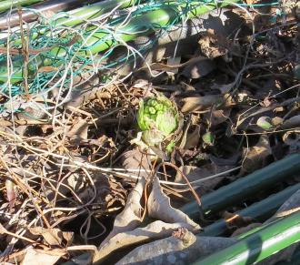フキノトウの芽(1)