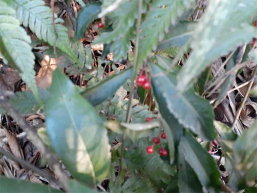 20210211・職場の裏山植物3・マンリョウ