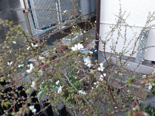 20210216・病院の帰りの植物2・ユキヤナギ