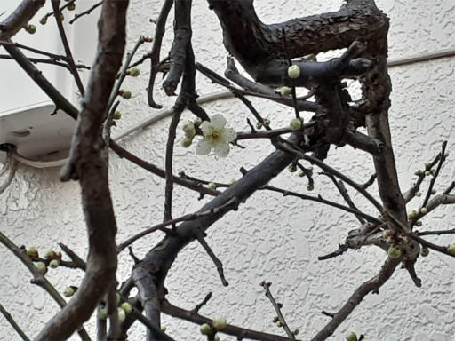 20210216・病院の帰りの植物3・我が家の庭にも白梅が