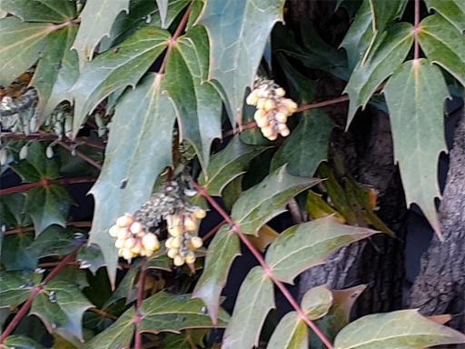 20210211・職場の裏山植物8・ヒイラギナンテン