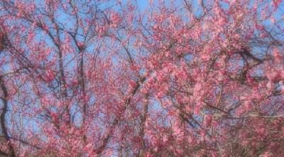 ブログ梅の花3942