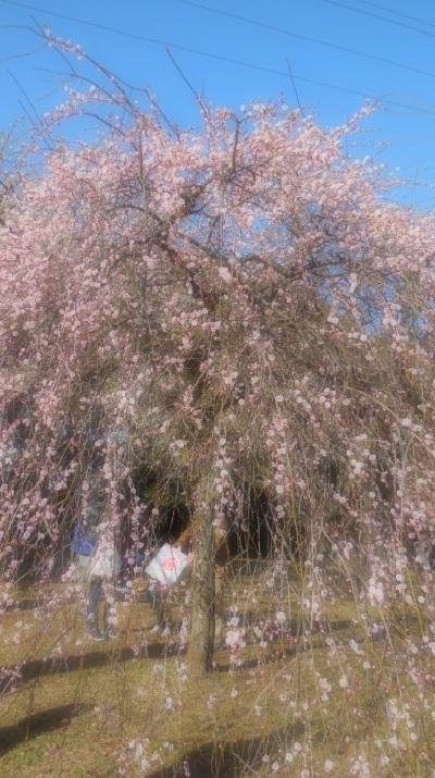 ブログ梅の花3944