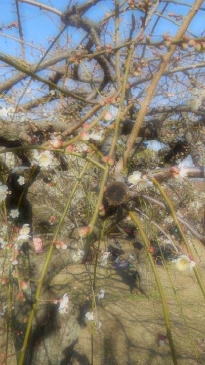 ブログ梅の花3956
