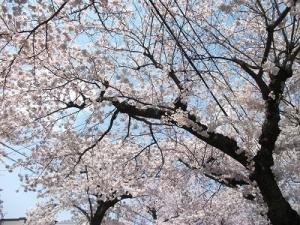 210420桜川の桜を仰ぐ