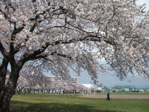 210420青高の桜