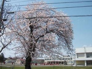 210420筒中の桜