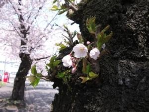 210420胴吹きの桜