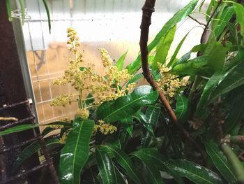 ?マンゴー開花