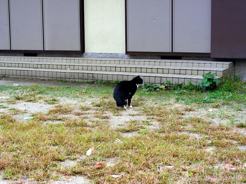 公民館前の黒白猫1