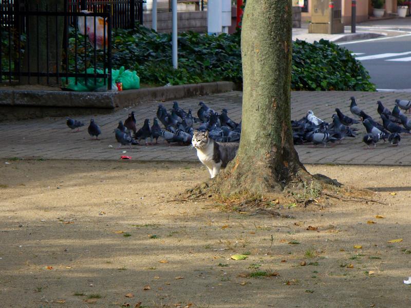 公園の樹とグレー白猫1