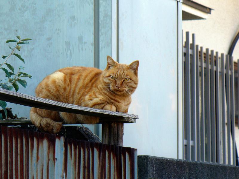 塀の上の強面茶トラ猫1