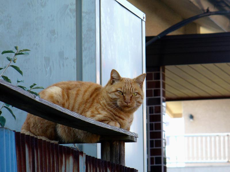 塀の上の強面茶トラ猫2