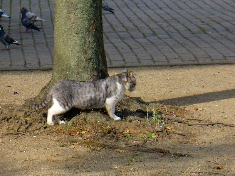 公園の樹とグレー白猫3