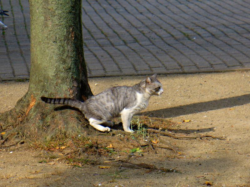 公園の樹とグレー白猫4