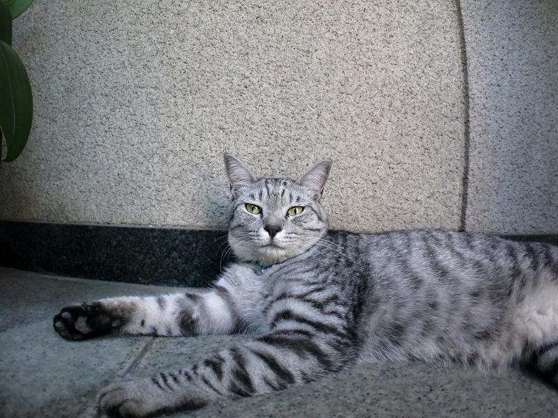 お堂の隣で横になってるサバトラ猫2