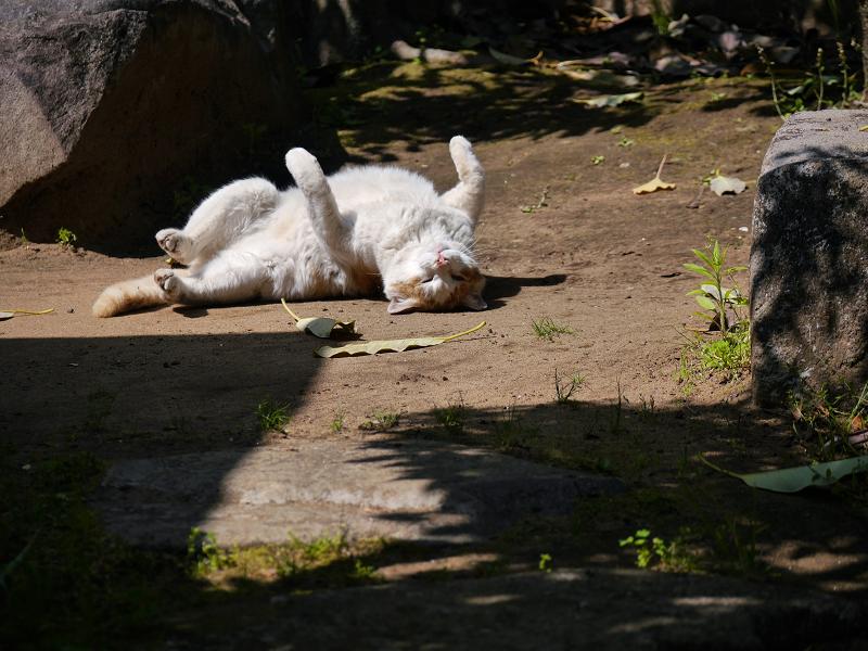 日向の公園で転がった茶白猫1