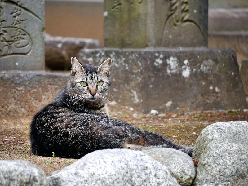 まん丸目玉のキジトラ猫1