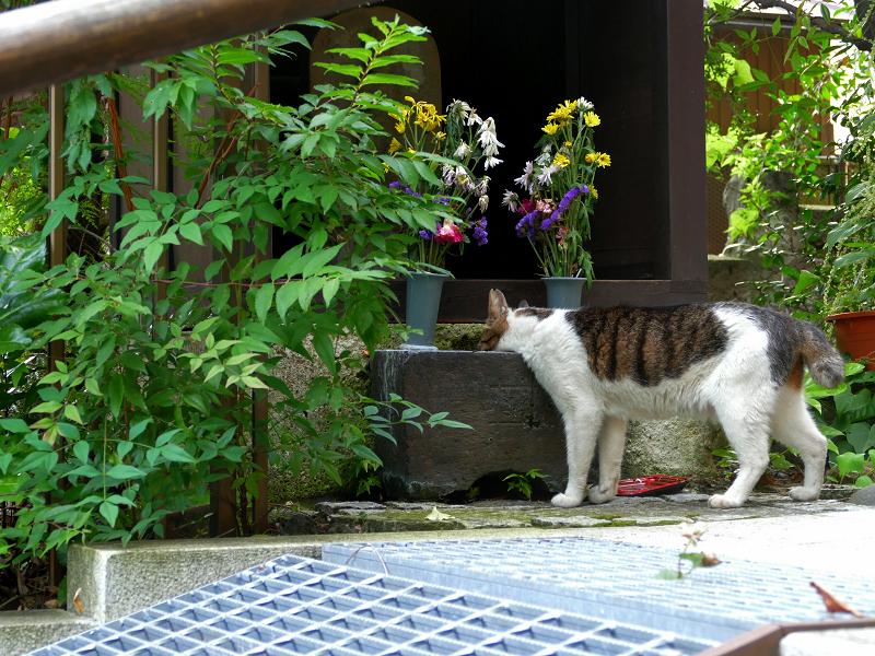 お社の手水で水を飲んでるキジ白猫2