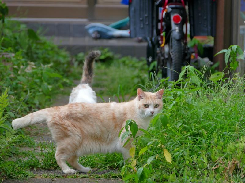 側面を見せてる茶白猫2