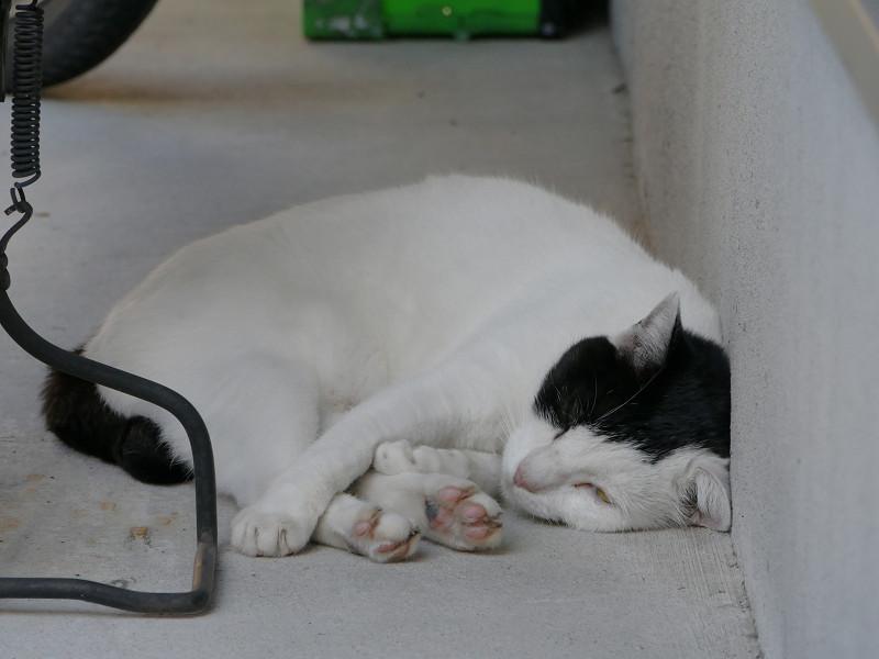 段々と目が閉じていく白黒斑柄猫2