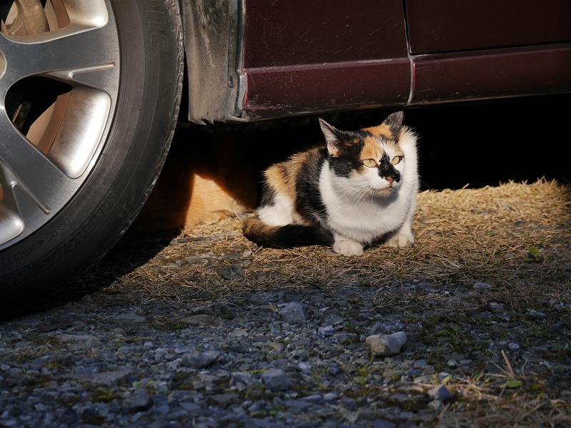 車の下から体を出した三毛猫2