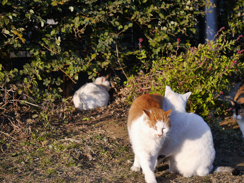 体を擦り付ける猫たち2