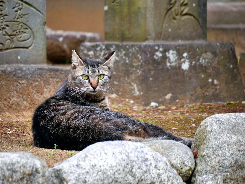 まん丸目玉のキジトラ猫2
