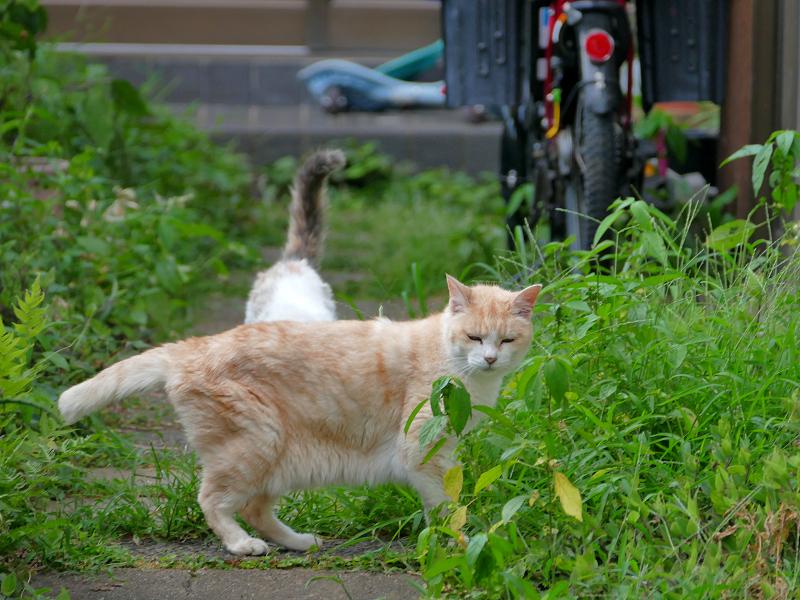 側面を見せてる茶白猫3