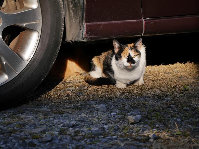 車の下から体を出した三毛猫3