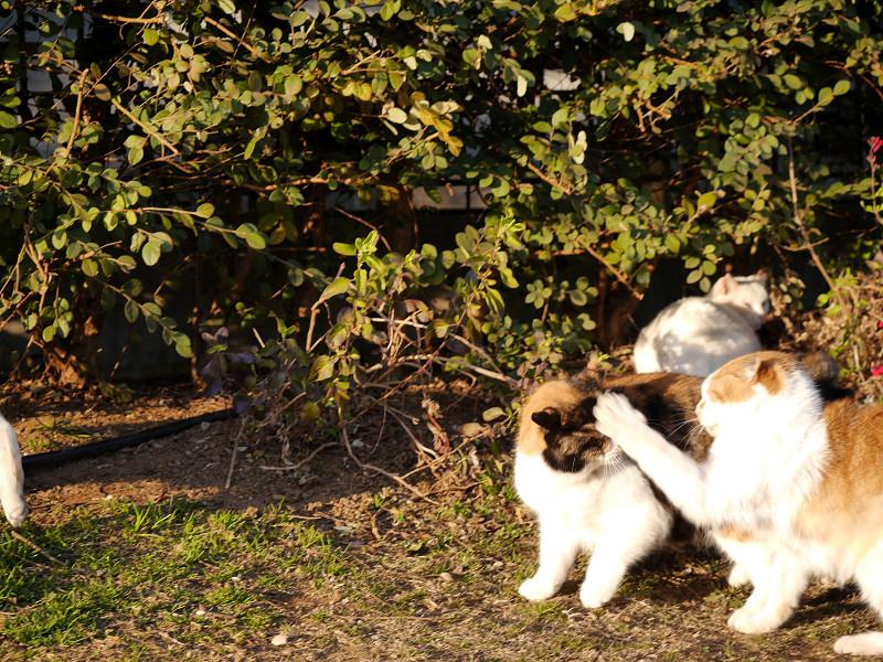 体を擦り付ける猫たち3