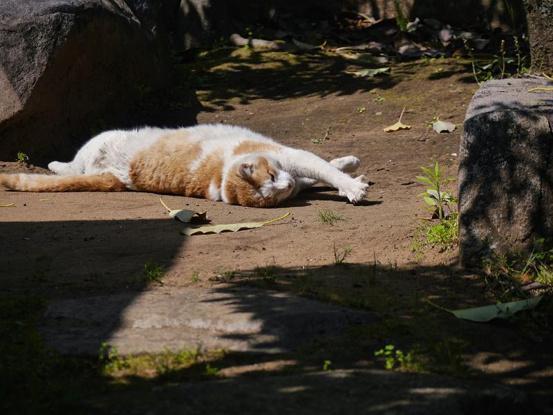 日向の公園で転がった茶白猫3