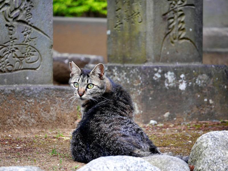 まん丸目玉のキジトラ猫3