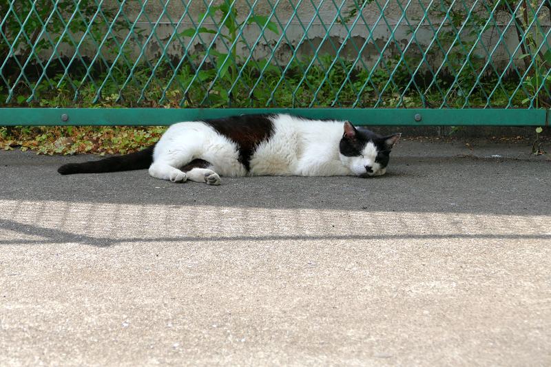 金網の前で手枕して寝ている白黒猫1