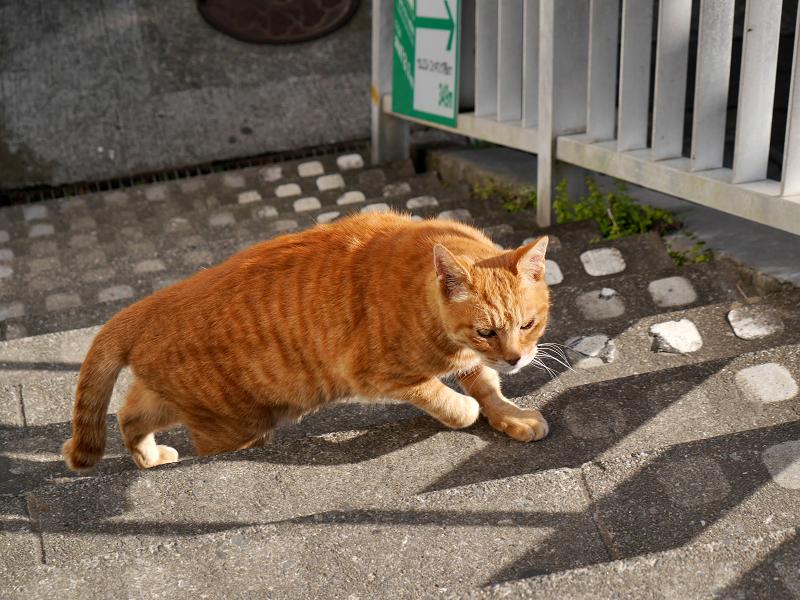 階段を上がりはじめた茶トラ猫1