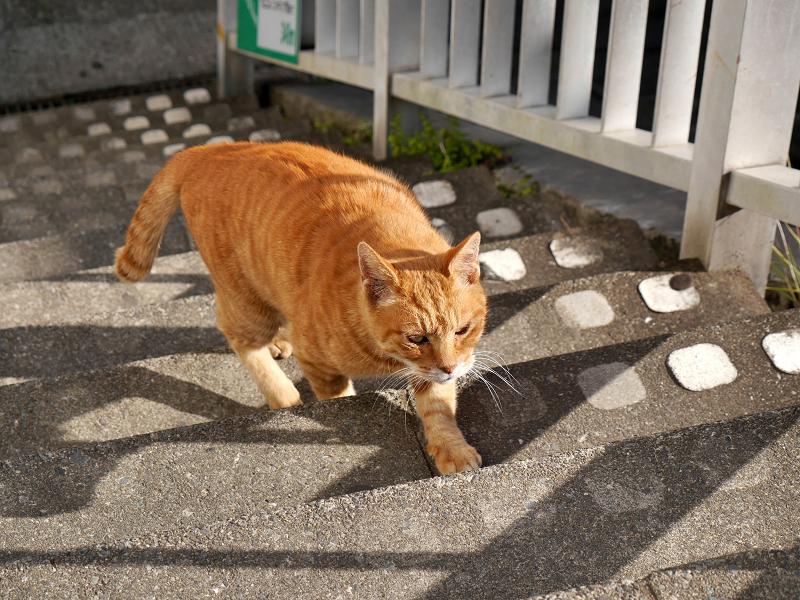 階段を上がりはじめた茶トラ猫2