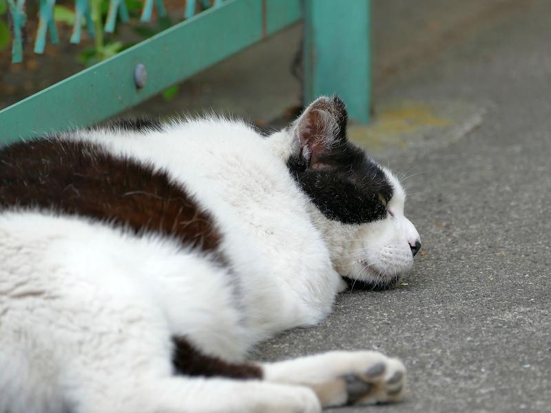金網の前で手枕して寝ている白黒猫3