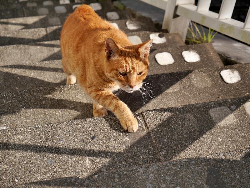 階段を上がりはじめた茶トラ猫3