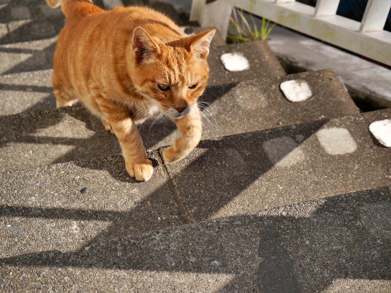 階段を上がりはじめた茶トラ猫4