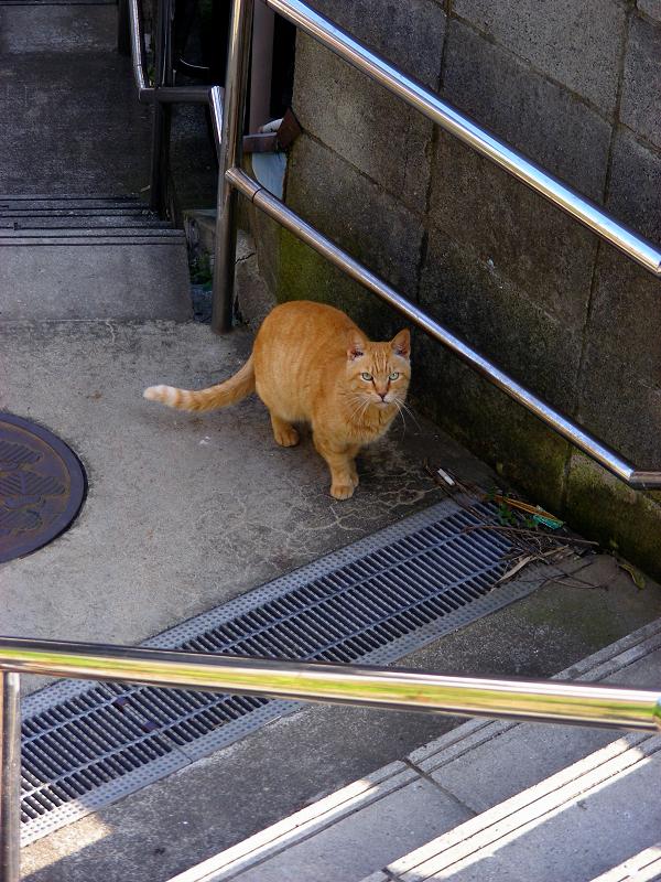 階段の途中で見上げてる茶トラ猫1