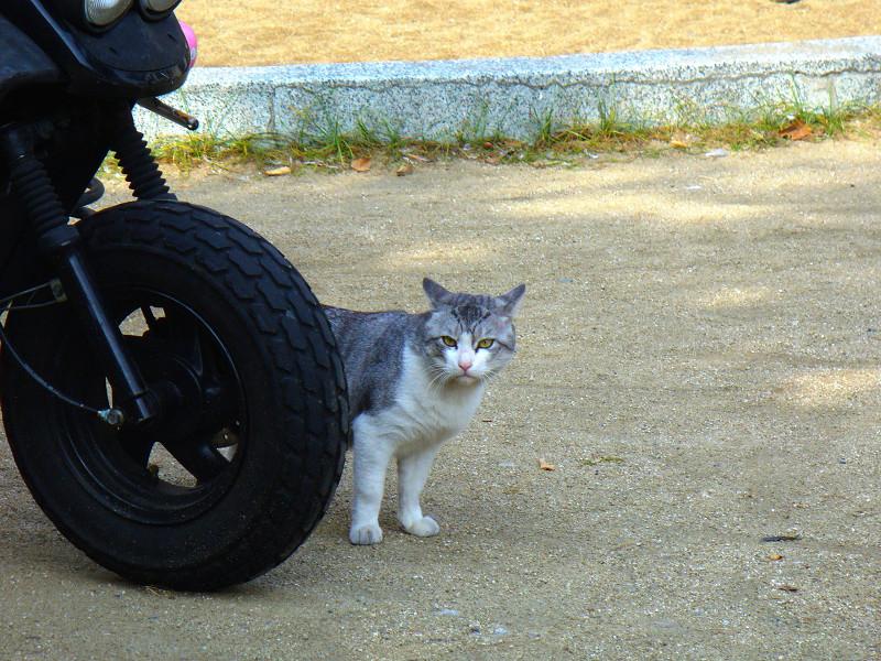 スクーターとグレー白猫