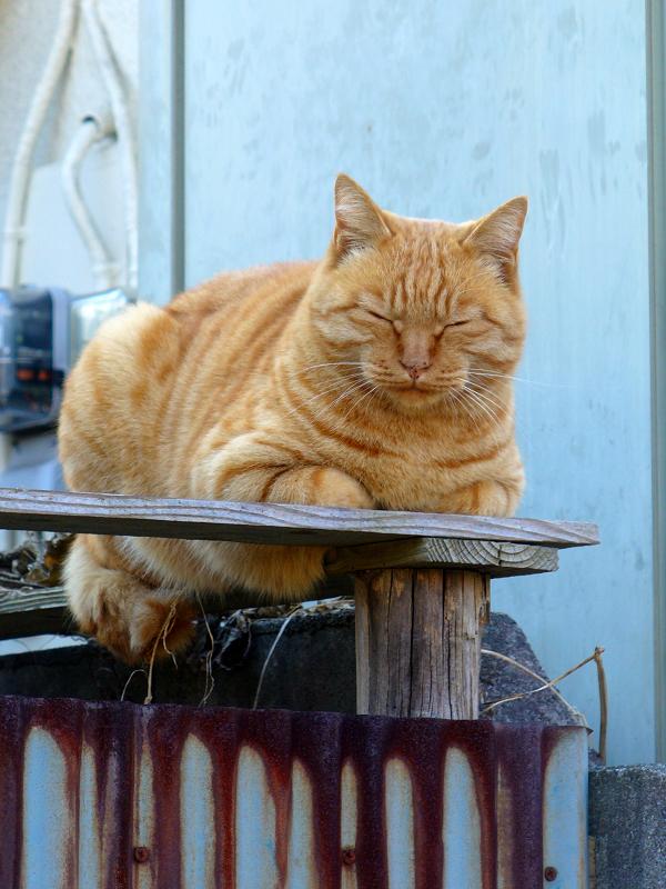 塀の上でしかめっ面の茶トラ猫1