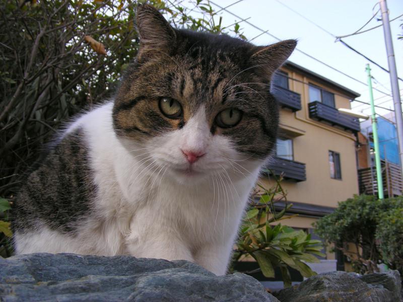 岩の上で毛づくろいしてるキジ白猫2